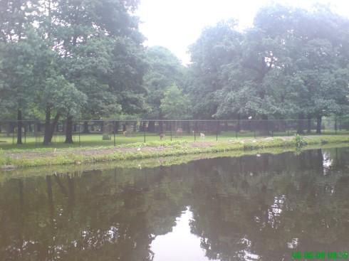Căprioare, cerbi, în centrul Hagăi. poze-olanda-2008-003