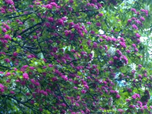 Copaci cu flori 2
